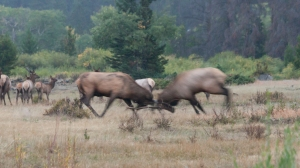 Two male elk bucks fighting for mates during the rut.