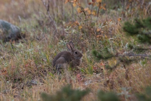 A very cute bunny that was in our campsite outside of Rocky Mountain NP.