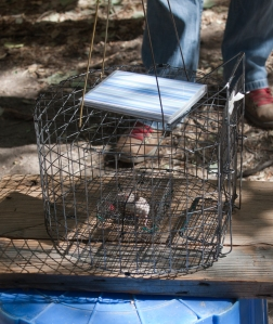 This is a cage for catching shrikes. It has a mouse in a little cage in the middle. When the shrike gets in and tries to eat it, the door closes and it gets caught, but the mouse stays safe inside the mini cage (as long as it doesn't stick its nose or paws out of the wires).