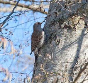 A Northern Flicker at North Mountain Park.
