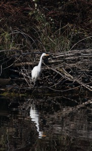 A Great Egret at Ashland Pond. That pond is always a pleasant surprise.