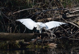 The great egret trying to snatch a fish.