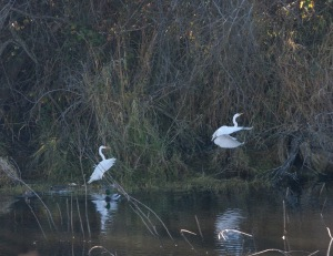 """No, Silvia, come back. I love you!""--We got to see great egrets courting, which mostly consisted of one running away from the other (but very cool to watch!)"