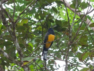 I think this was a black-headed trogon