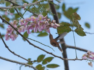 Little hummingbird drinking from a flowering tree
