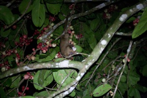 Kinkajou in Molly Apple (Malay Apple) tree.