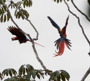 Two scarlet macaws flying between branches.