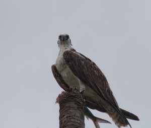 An Osprey that landed by the volleyball court to eat a fish
