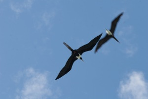 Female frigatebirds crossing paths in flight