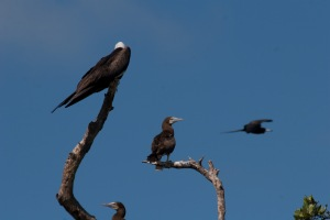 A Brown Boobie and Magnificent frigatebird