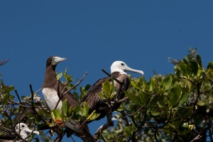 A female frigatebird and a boobie.