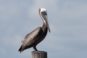 A pelican resting in the evening