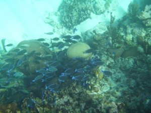 Blue Tangs all mobbing a coral head to eat the algae