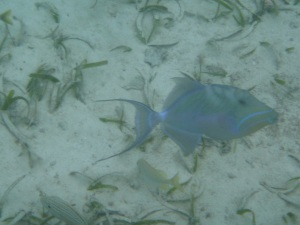 A queen triggerfish that was breaking open conch shells on the sea floor