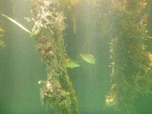 Fish hiding in the mangroves