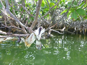 What appear to be mussels or clams growing directly on mangrove roots