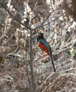 An elegant trogon, the U.S.'s only trogon