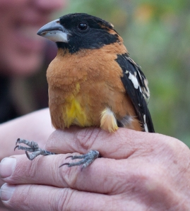 The Black-headed grosbeak