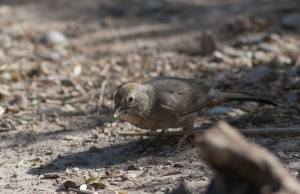 A Canyon towhee at San Pedro