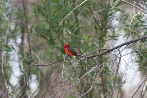 Vermilion flycatcher at San Pedro in the riparian area