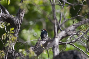 An Acorn woodpecker that tried to eat out of the hummingbird feeders