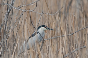 One of my favorites, the Black-crowned night heron