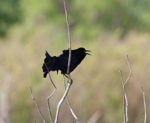 A great-tailed grackle making its funny calls