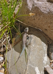 What I believe is a Yarrow's spiny lizard